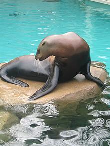 Vancouver aquarium seal